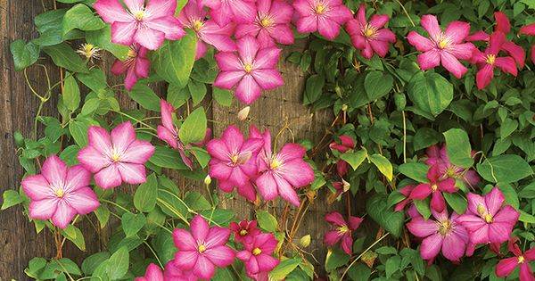 Pruning clematis | Garden Gate eNotes