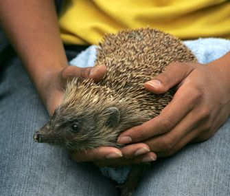 Do Hedgehogs Make Good Pets 10 Things To Know Before Bringing One Home Hedgehog Hedgehog Pet