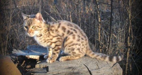 Pin Pa Bengal Cats