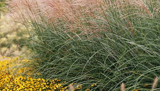 17 top ornamental grasses gardens beautiful and sun for Tall ornamental grasses for screening