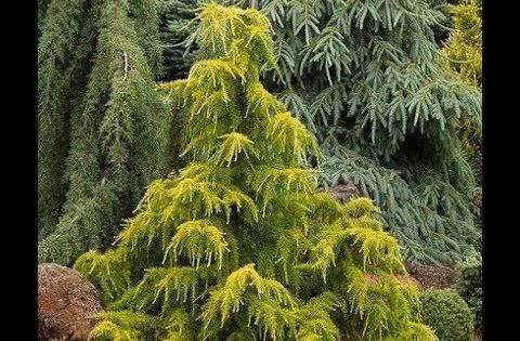 Conifers In The Garden Garden Style Nw Youtube Plants Garden Styles