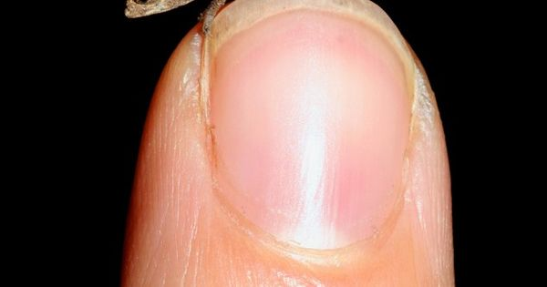 The World's Tiniest Chameleon, Brookesia, micra, is just 3 cm long and