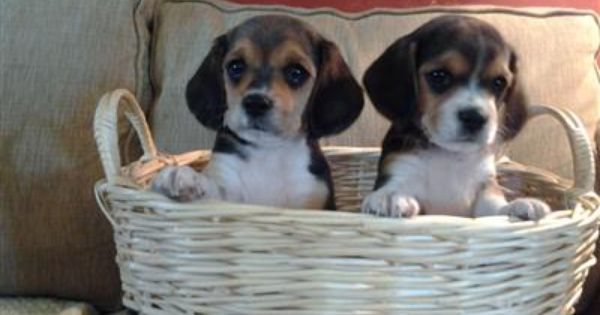 Beagalier Babies Beagle And Akc King Charles Cavalier Mix Baby Beagle Cute Puppies Puppies