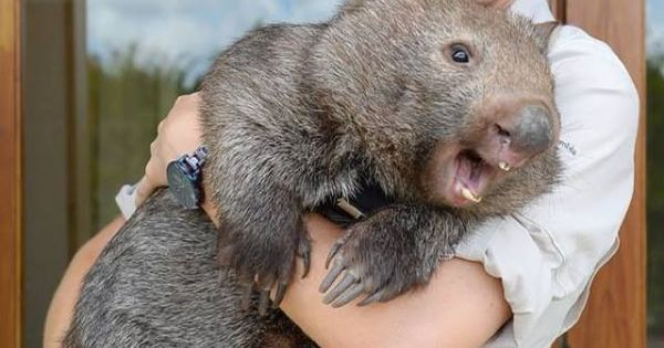Big happy wombat. He'll either eat or break everything you ...