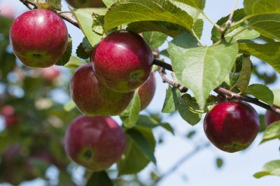 How To Fertilize Apple Trees Tips On Apple Tree Feeding Planting Apple Trees Apple Tree Care Apple Tree