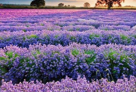 Lavender fields, Provence, France. places france purple lavander