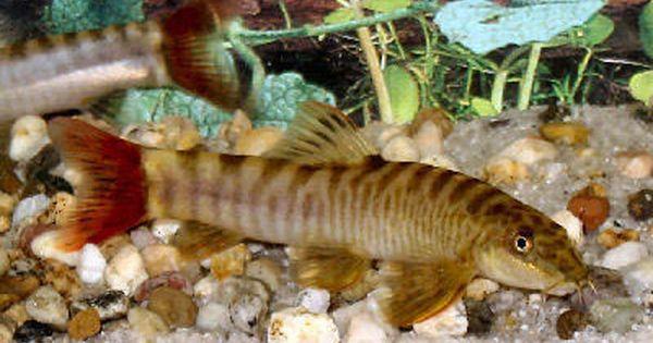 Http Animal World Com Encyclo Fresh Hillstreamloaches Images Redtailzebraloachwflo Ap4a Jpg Fish Aquarium Fish Tropical Fish
