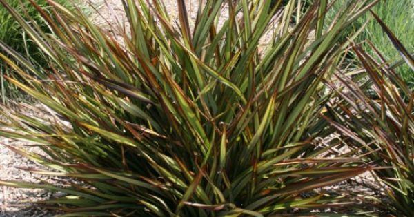 Phormium Tom Thumb Ornamental Grasses Pinterest