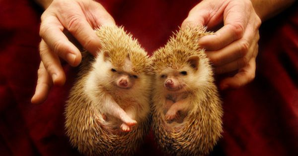 Hedge Hogs - Animal Twins - Source: Facebook