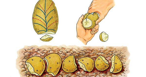 Grosse r colte de pomme de terre jardinage pinterest - Arrosage pomme de terre ...