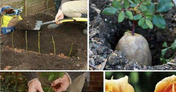 How to Propagate Roses Using Potatoes (i had no idea this was