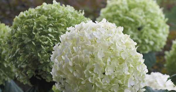 schneeball hortensie 39 strong annabelle 39 dehner garten center hortensien pinterest. Black Bedroom Furniture Sets. Home Design Ideas