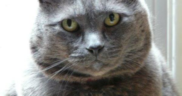 Adopt Cleo On Russian Blue Adoption Cats