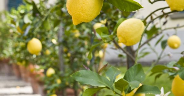 Growing Fruit Trees in Containers. Master gardener Chris Dawson shares these tips