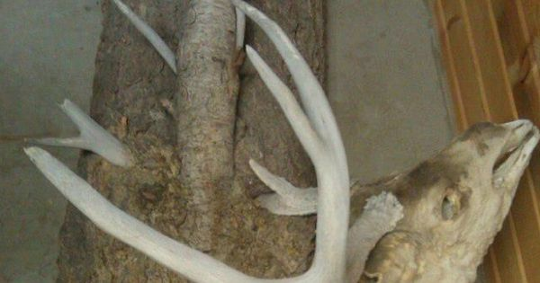 Tree that grew around the antlers of a dead buck imgur hunting and
