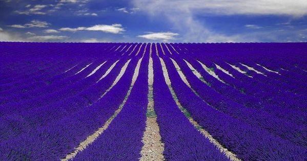 Purple Lavender, Provence, France photo by Nespyxel