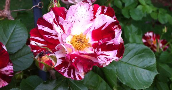 fourth of july climbing rose care