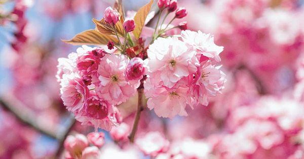 Google Image Result For Https Www Gardenia Net Storage App Public Uploads Images Prunus Flowering Cherry Tree Japanese Flowering Cherry Cherry Tree Varieties