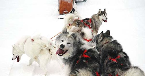 Canadian Eskimo Dog Photos Information And More The Ced Is Also Known As The Inuit Dog Qimmiq Or Kimmik Animaux