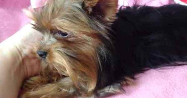 Extra Micro Yorkie Female Adult For Sale 1 5 Lbs Fully Grown