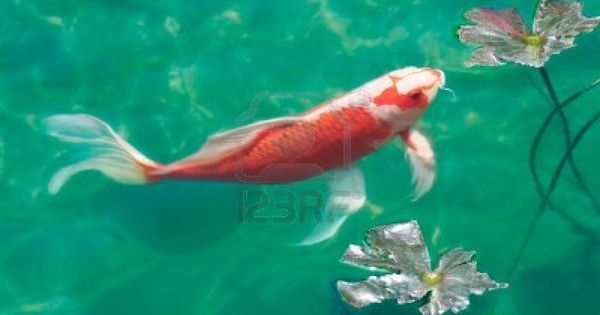 A koi carp in a fish pond stock photo koi 39 tastic for Fish pond fertilization