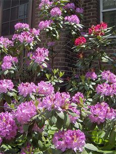 Pruning Rhododendrons How To Prune Rhododendrons Pruning