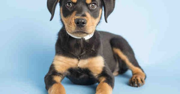 10 Week Old Rottweiler Puppy Available For Adoption At The Arizona