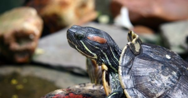 ... That an Aquatic Turtle Can Eat Aquatic Turtles, Turtles and Pantry