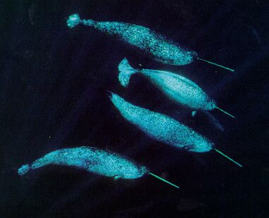 Global Climate Change Science Buzz Narwhal Whale Climate Change