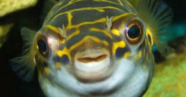 My Unsalted Tanks Puffer Fish Fish Sea Fishing