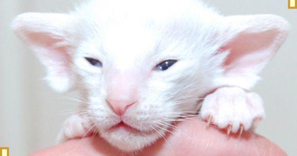 Siamese Kittens For Sale At Burnthwaites Siamese Siamese Kittens Cats And Kittens Kittens