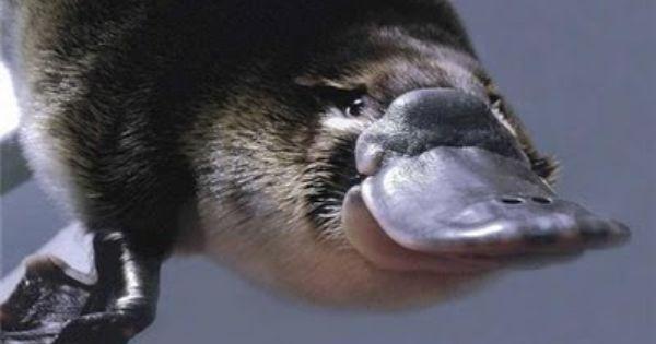 Duck-billed Platypus!