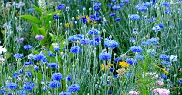 Cornflower Blue My Favorite Color Of All Bachelor Button Flowers Bachelor Buttons American Meadows