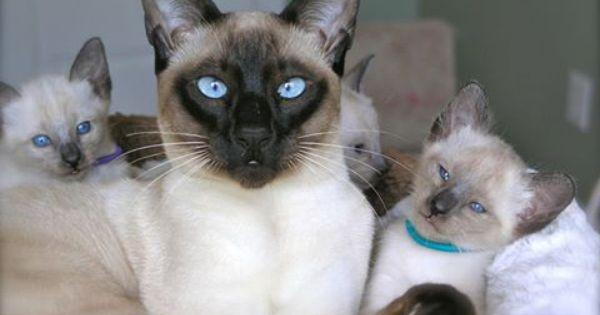 Carol Gagatch S Photo Siamese Kittens Kitten For Sale Cattery