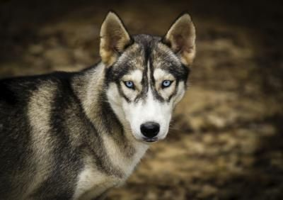 Why Do Husky Dogs Have Blue Eyes Husky Dogs Siberian Husky