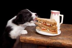 Border Collie Feeding Amount Guidelines How Much To Feed