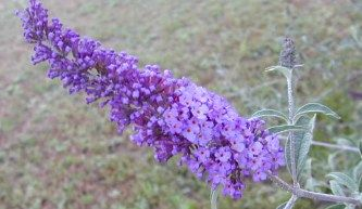 Trim Butterfly Bushes