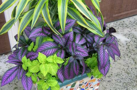 Gorgeous Purple Persian Shield Plants With Variegated
