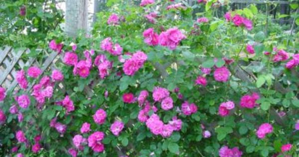 Front Yard Cottage Garden John Cabot Climbing Roses: John Cabot Rose - Winter Hardy To Zone 3
