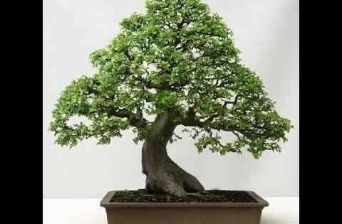 Bonsai para iniciantes ulmus parvifolia como plantar - Como cultivar bonsais ...