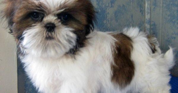 Toy Dog Puppies Pictures Shih Tzu Puppy Puppy Dog Pictures Shih Tzu Dog