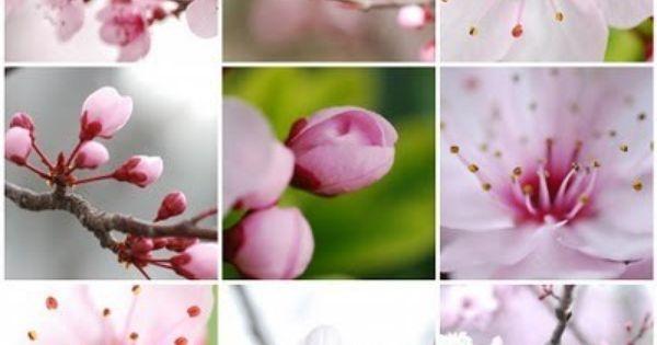 Cherry Blossom Time Cherry Blossom Flowers Blossom Beautiful Flowers Photos