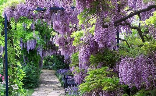 wisteria lane, these were in FULL BLOOM while I was in CA.......Breathtaking