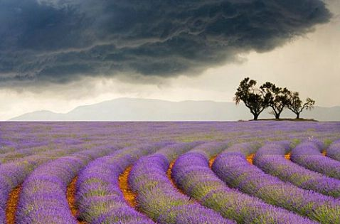 Curved Rows of Lavender near the Village of Sault, Provence, France