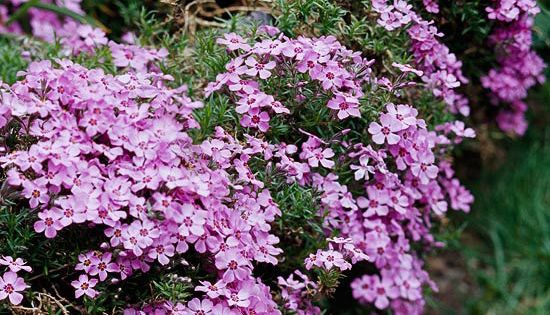 Easy groundcovers creeping phlox spring bulbs and for Pink flower perennial ground cover