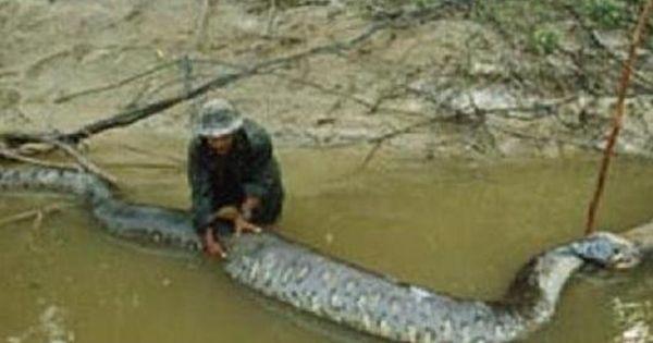 Giant Snake In River This gigantic anaconda snake   Giants ... - photo#34