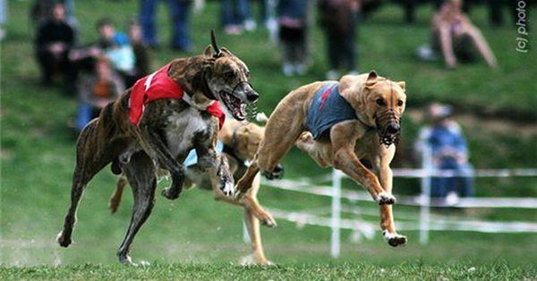 Pin By Irina Cochubey On Borzye Sobaki H Oj Gruppy I Vse Vse Vse Hound Breeds Pets Animals