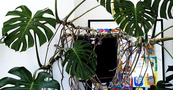 gorgeous oversized monstera plante pinterest plantes plante interieur et int rieur. Black Bedroom Furniture Sets. Home Design Ideas