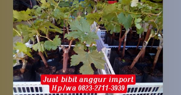 Kebun Anggur Klaten