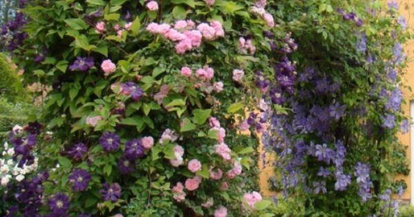 Klimroos new dawn clematis etoile violette tuin pinterest tuin tuinen en planten - Wijnstokken pergola ...